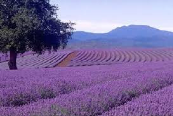 Essential Oil Profile: Lavender